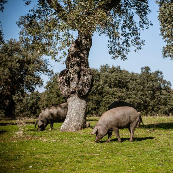 Ibérico varkens